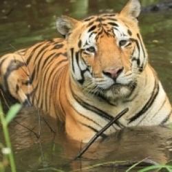 भारतीय बाघ