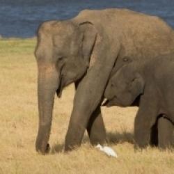 एशियाई हाथी